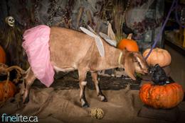 Newsletter Goat